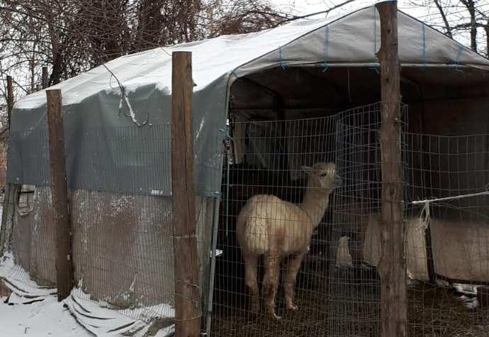 Alpaca shelter tarps
